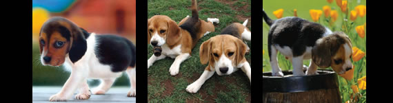 Beagles inspire tattoo designs