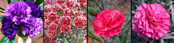 carnation photo gallery