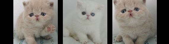 Exotic Shorthair cat images