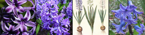 hyacinth photo gallery
