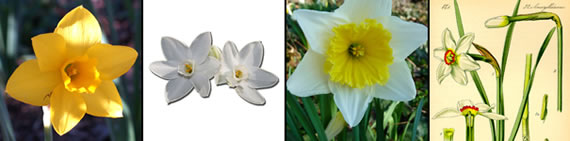 narcissus photo gallery
