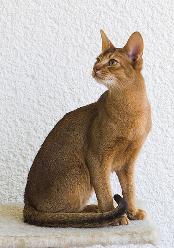 Do Abyssinian Cats Get Along With Other Cats