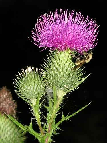 Thistle Pictures Pics Images And Photos For Inspiration