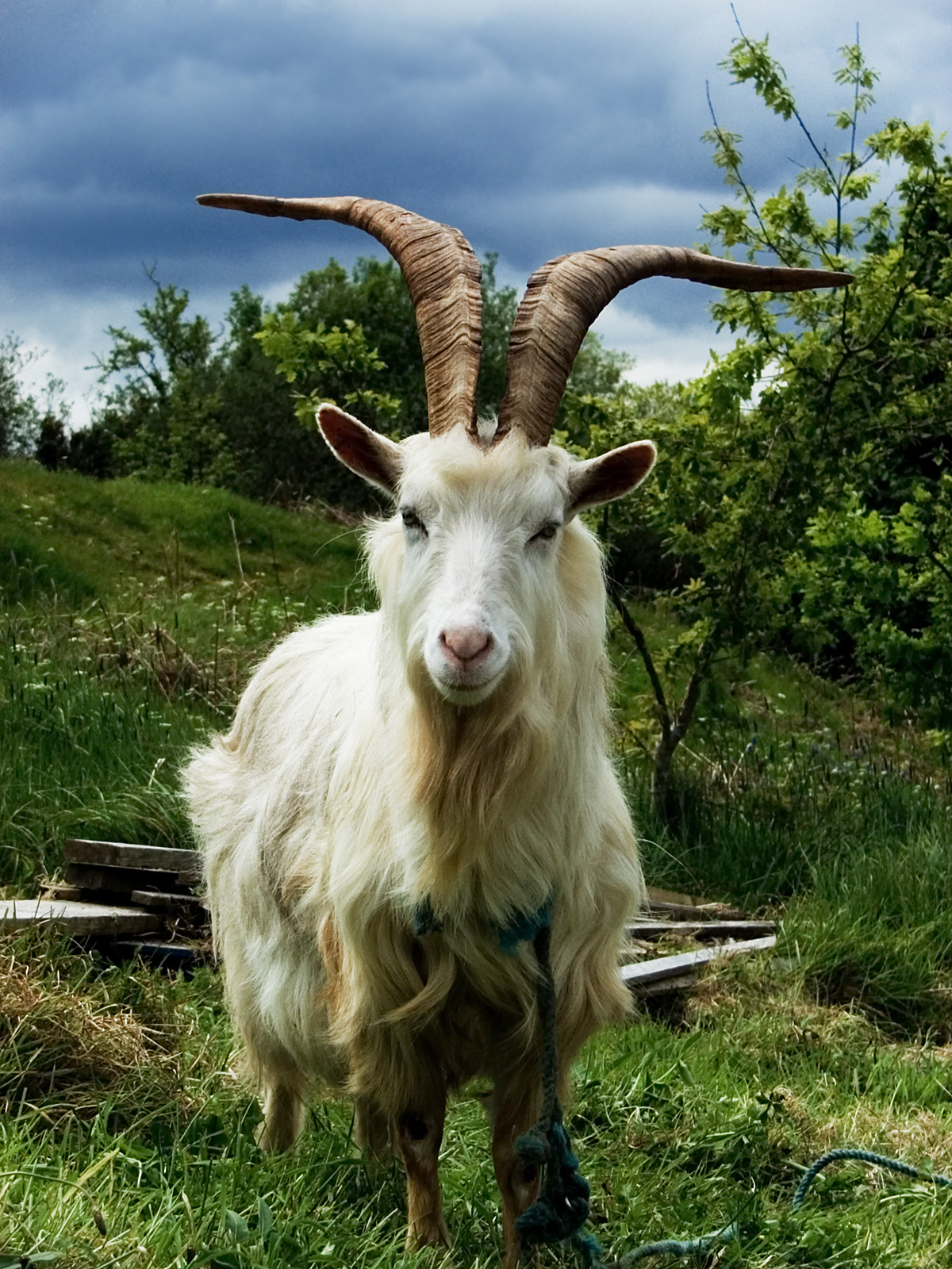 Goat Pictures  Pics  Images And Photos For Your Tattoo Inspiration