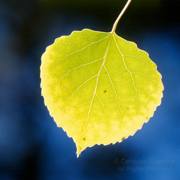Aspen Leaf Pictures Pics Images And Photos For Inspiration