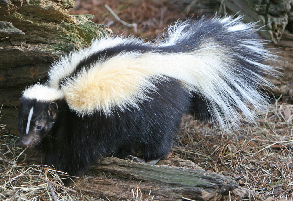SKUNK PICTURES, PICS, IMAGES AND PHOTOS FOR YOUR TATTOO ...